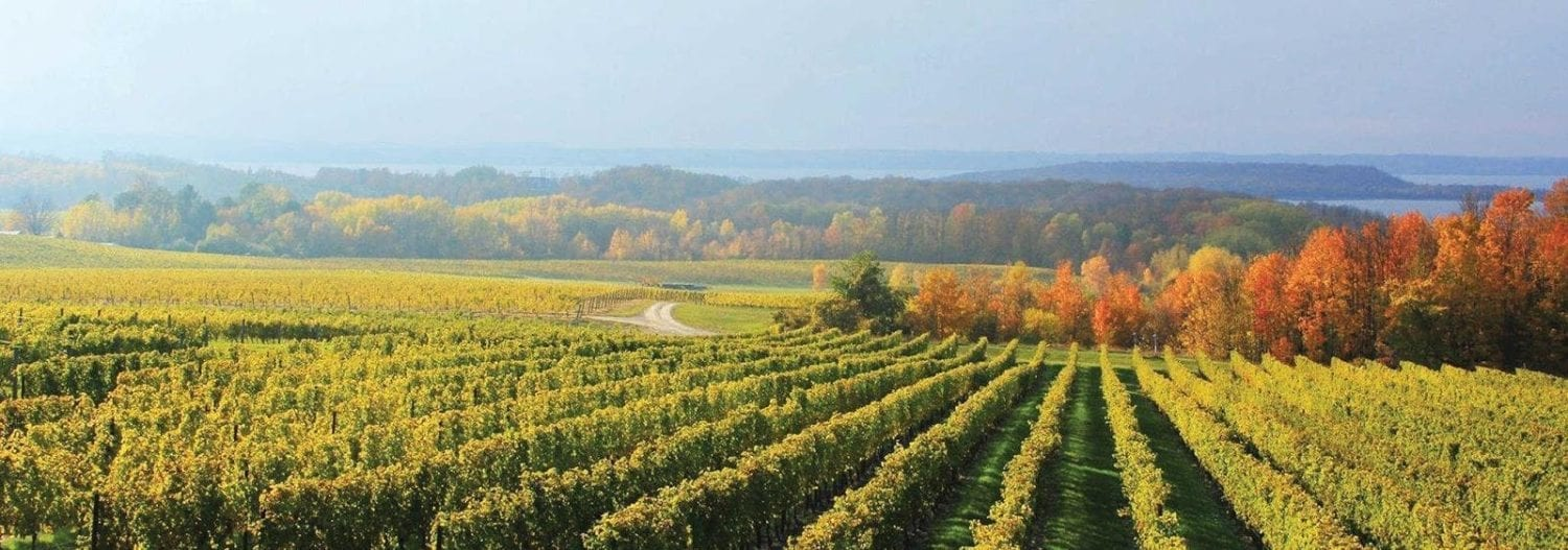 Vineyards in autumn with orange leaved trees in the background